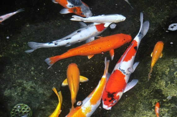 Koi for sale Raised ponds for sale